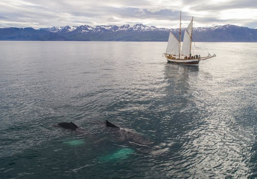 Aerial view of beautiful white traditional sailboat with passengers floating on rippling sea during whale watching tour