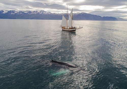 Sailing boat floating in sea near humpback whale