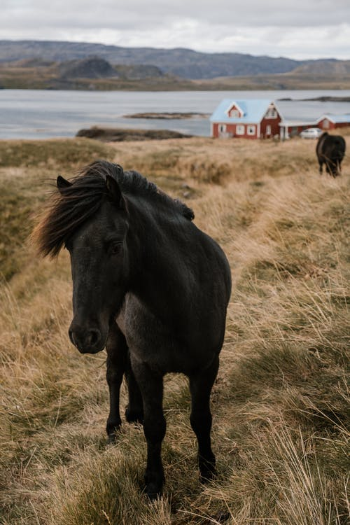 Black horses in open farm pasture field placed near water with rocky landscape against cloudy sky