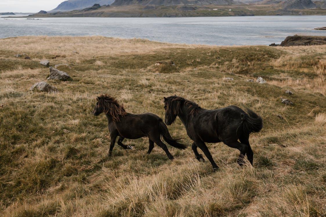 Horses running on open pasture near water