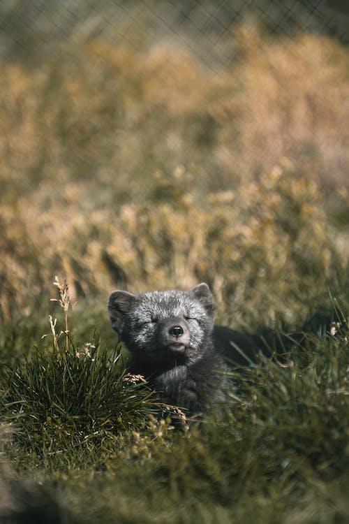Charming gray arctic fox sunbathing on grass in sunlight