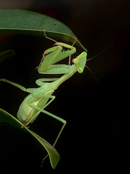 Free stock photo of Prying mantis