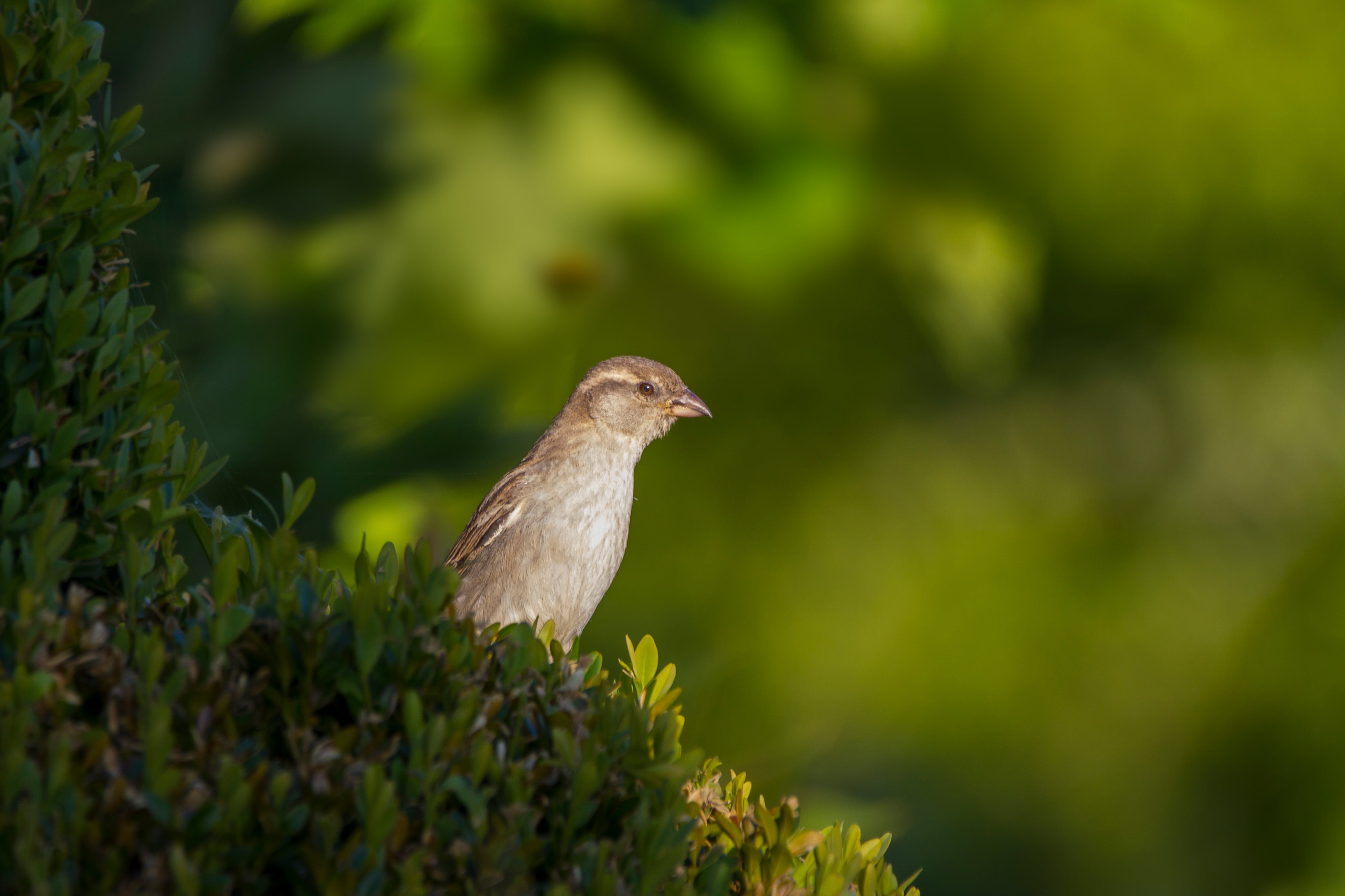 Free stock photo of bird, sparrow, sperling