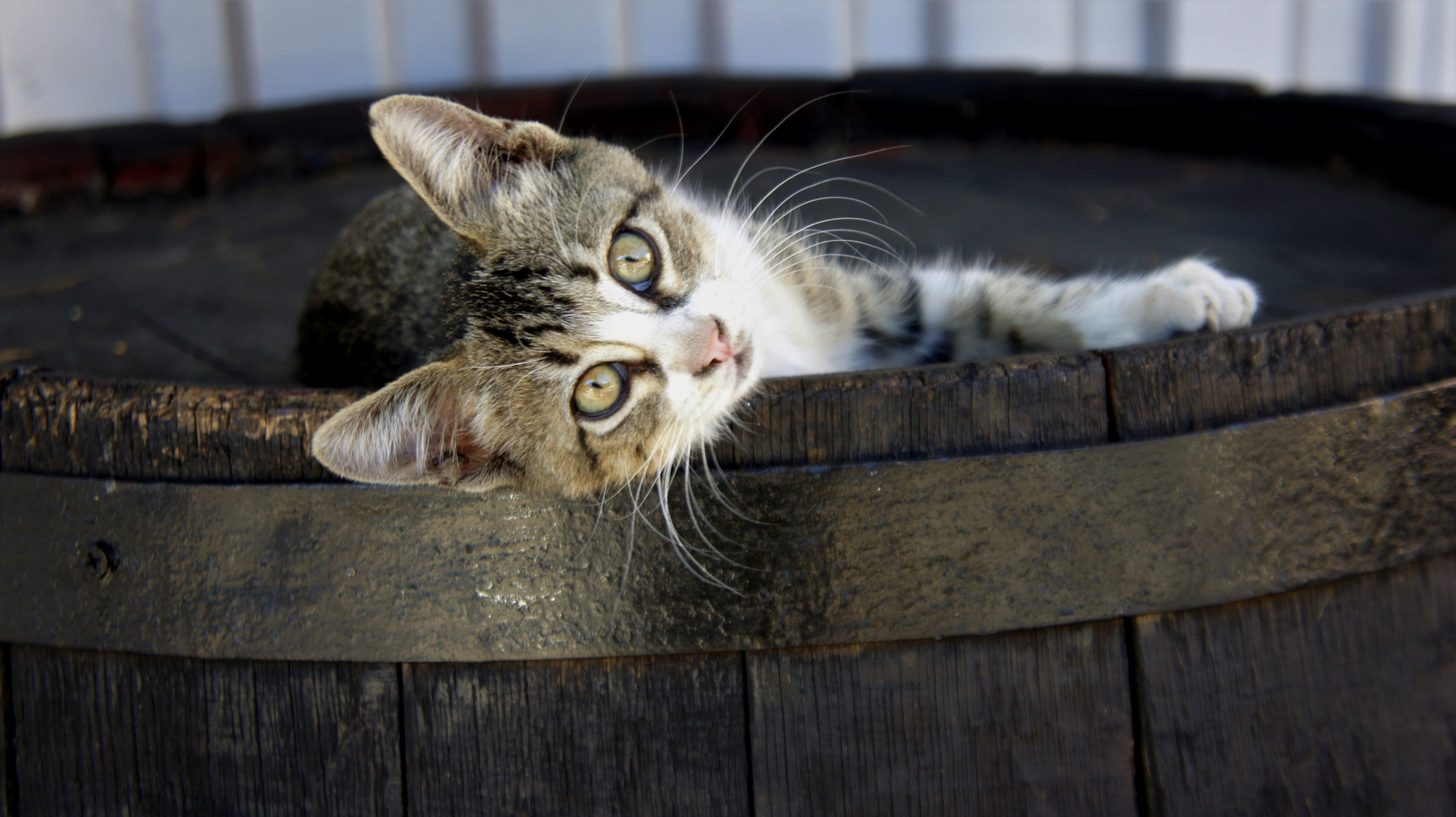 Free stock photo of barrel, cat, cute, funny