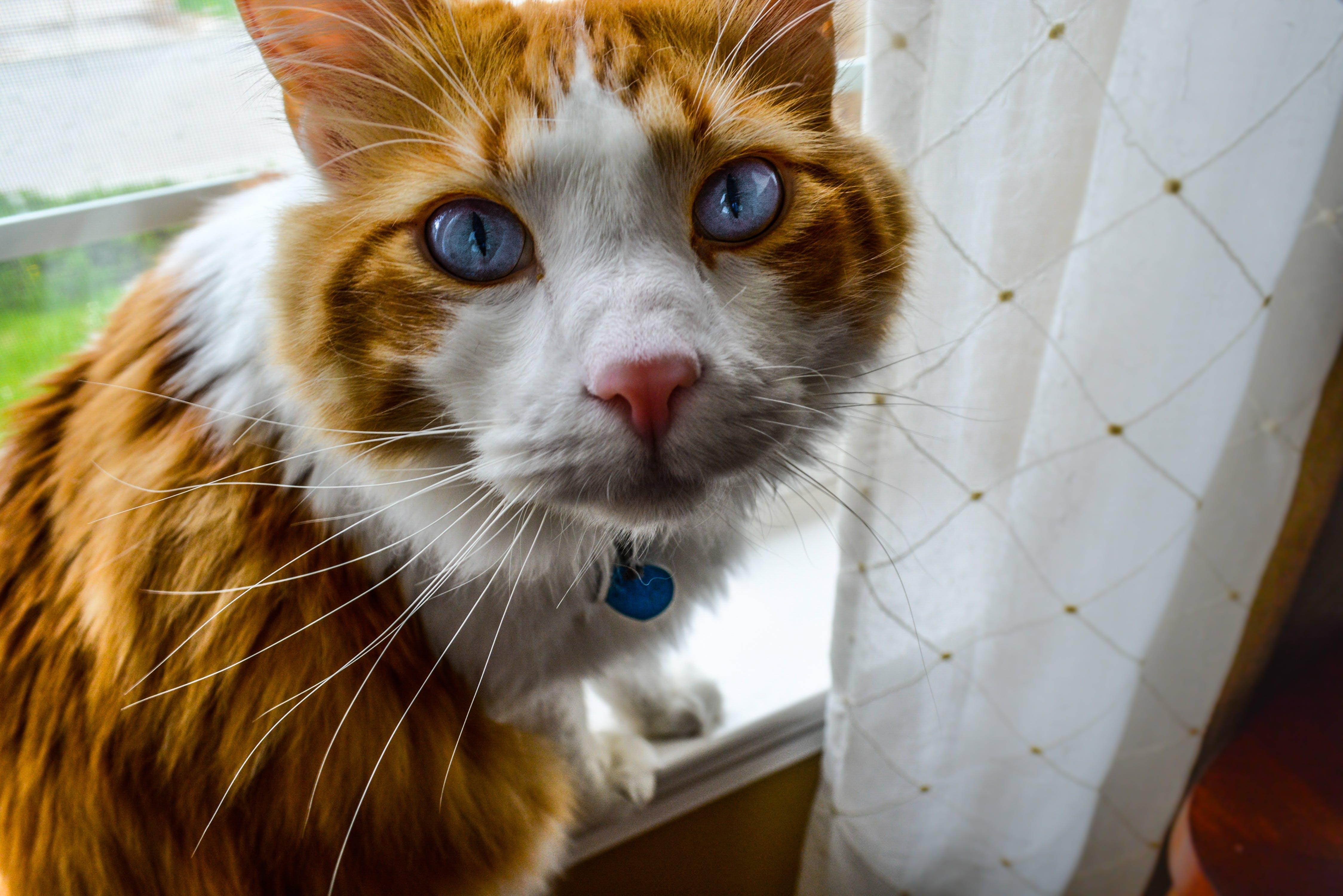 Medium-haired Orange and White Cat