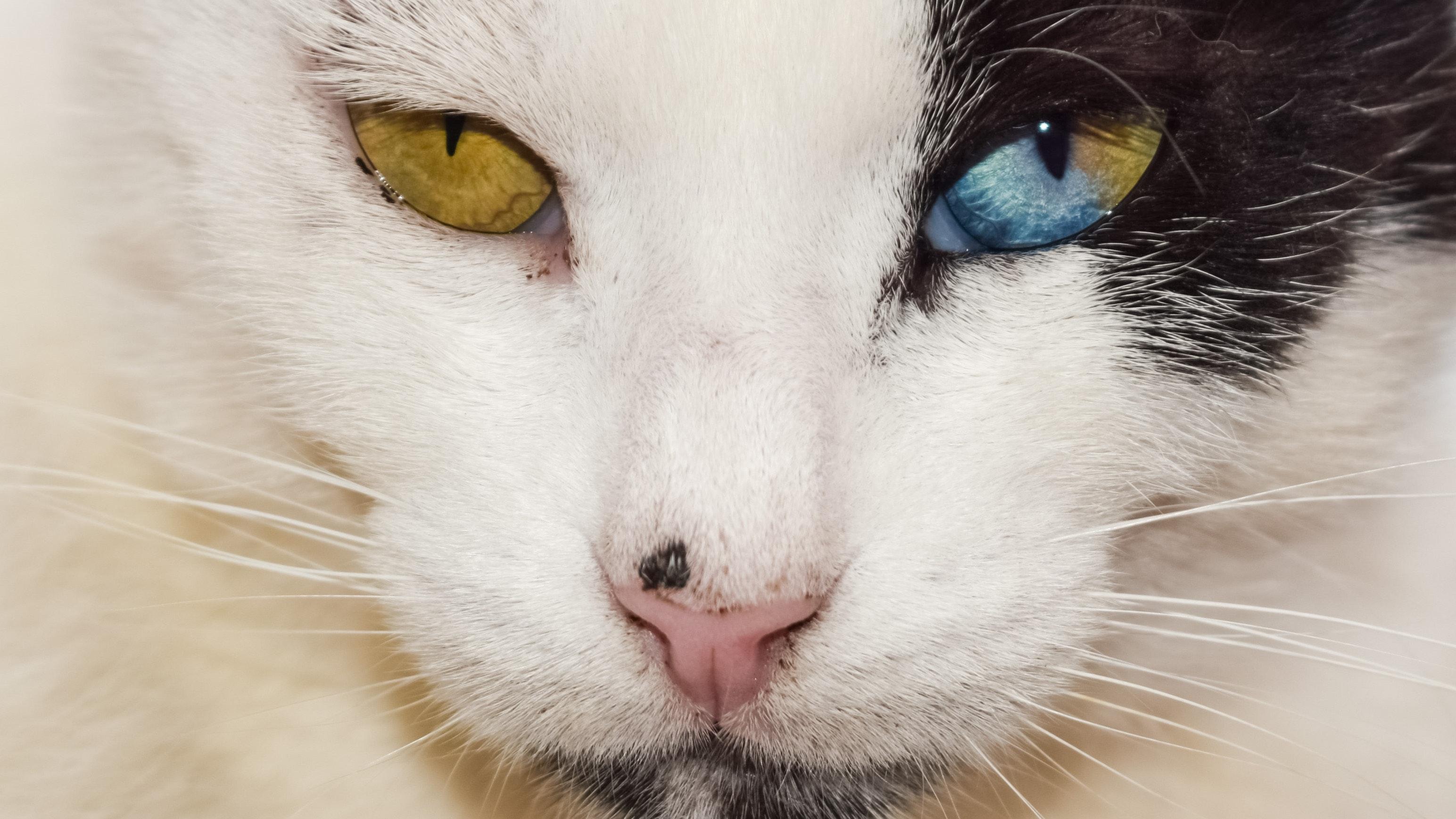 Free stock photo of animal cat eyes