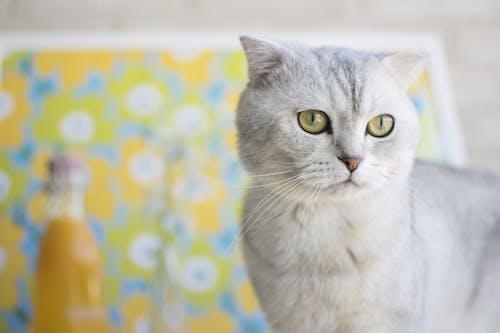 Základová fotografie zdarma na téma dívání, domácí, domácí mazlíček, kočičí obličej