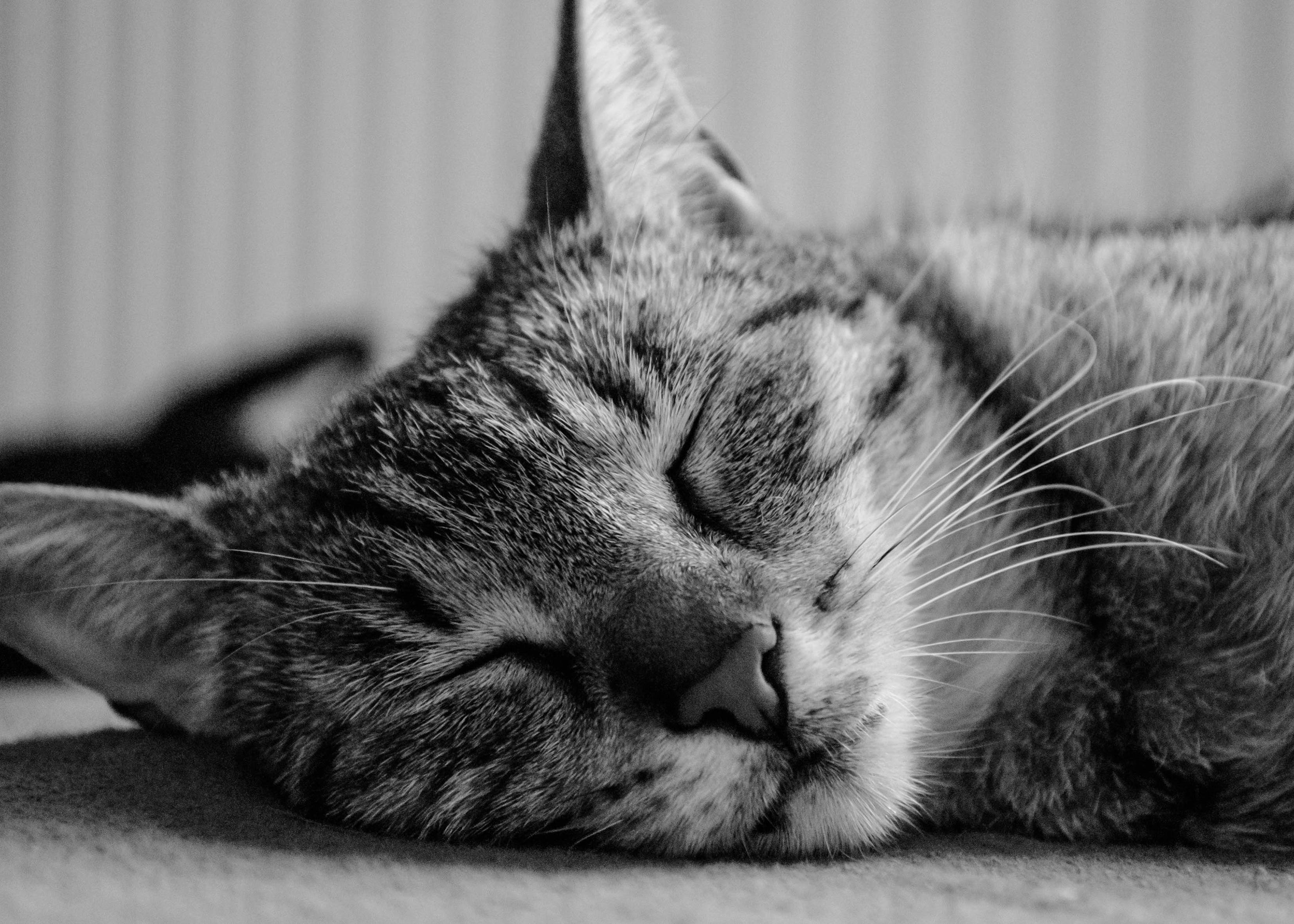 Grayscale Silver Tabby Cat Sleeping