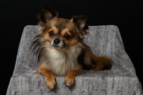 Adult Brown Chihuahua