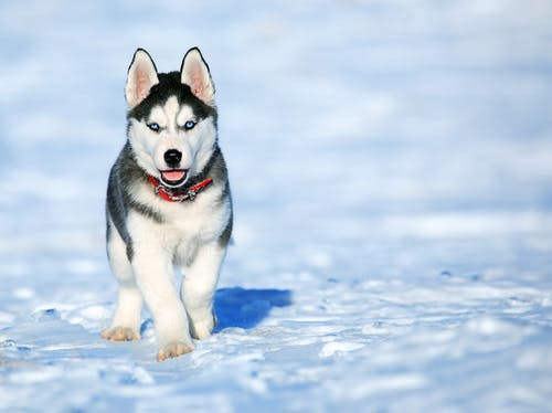 White and Black Siberian Husky
