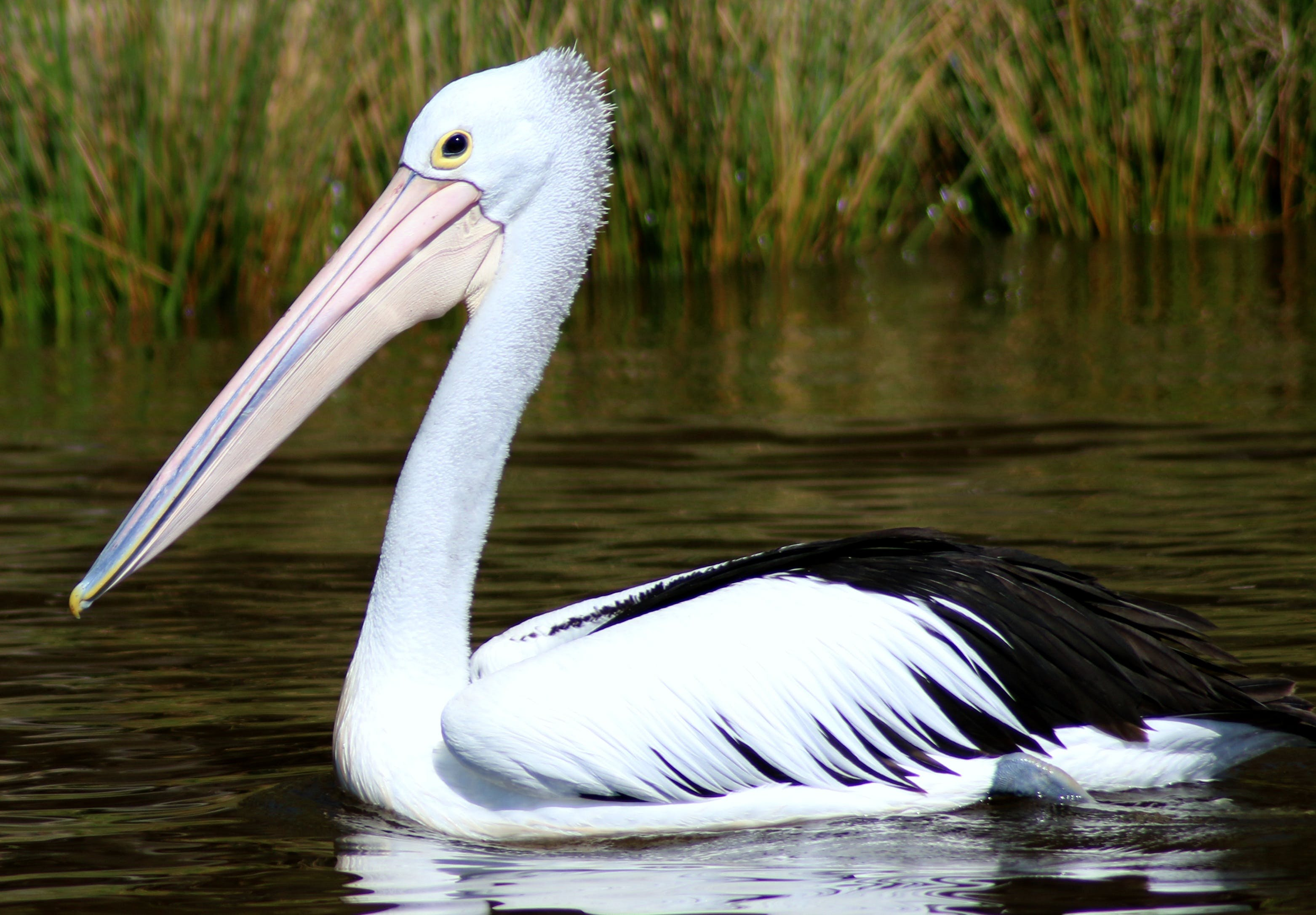 Free stock photo of nature, bird, pelican, water