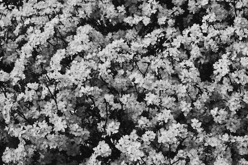 Free stock photo of blossom, nature, white, white blossoms