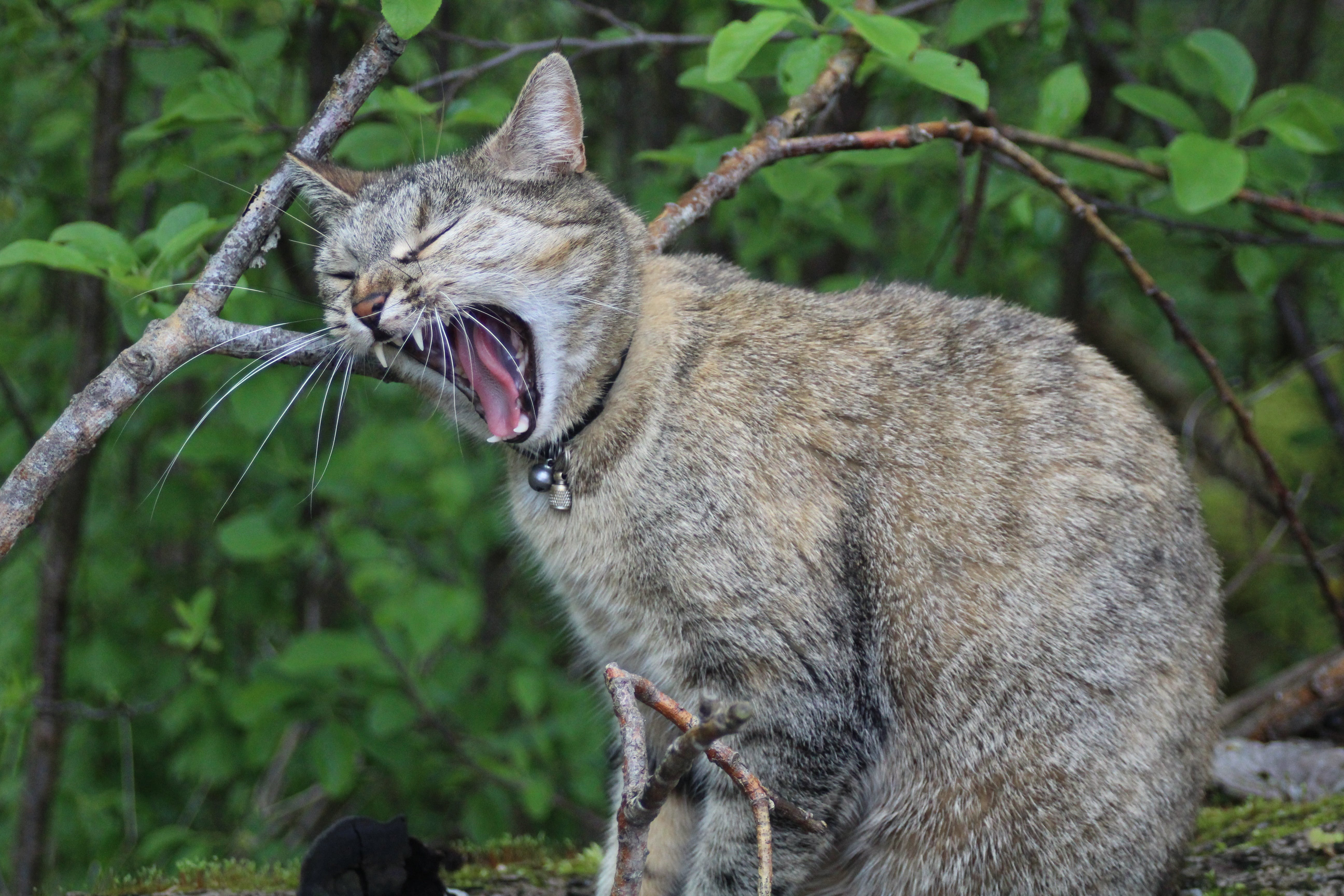 Free stock photo of cat, Meow, snarling