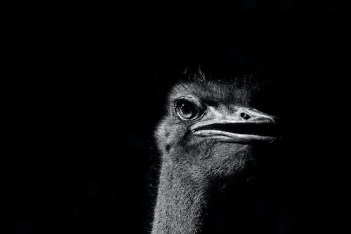 Foto d'estoc gratuïta de au, estruç, gran ocell, ocell