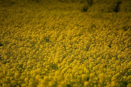 Free stock photo of field, golden yellow, nature