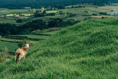 Foto profissional grátis de Açores, agricultura, ao ar livre, área