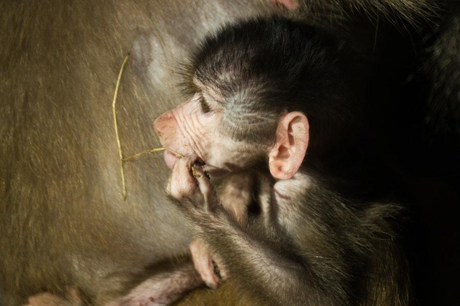 animal, ape, baboon
