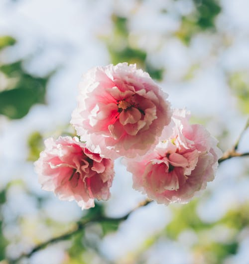 Delicate flowers of sakura in sunlight