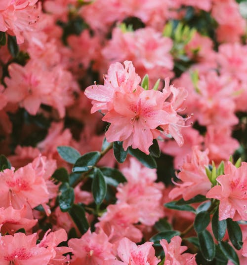 Beautiful pink flowers on bush in park