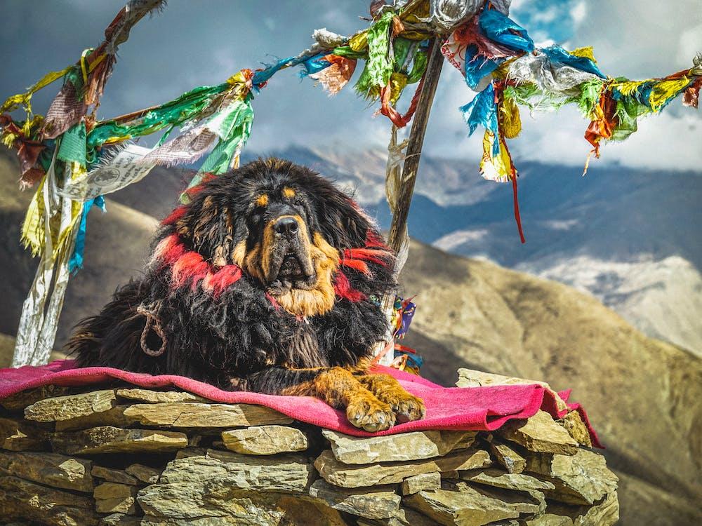 Tibetan Mastiff resting on blanket on stones