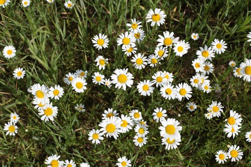 Free stock photo of daisies, farm, field