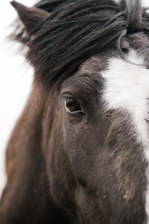 Crop bay horse with white star spot between eyes