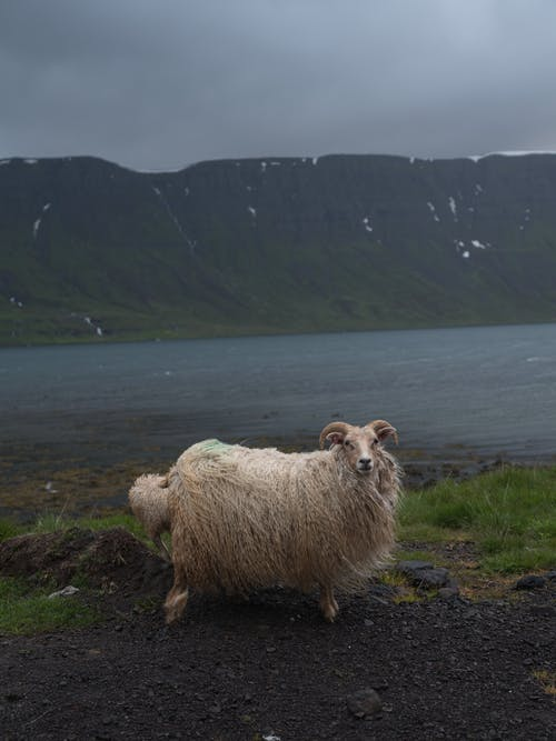 Cute white fluffy sheep grazing on quiet pasture near river on highland under dark cloudy sky