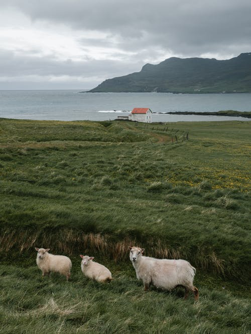 Sheep grazing on pasture near sea and remote house