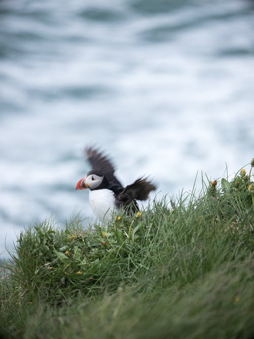 Puffin bird flying over green hills and sea