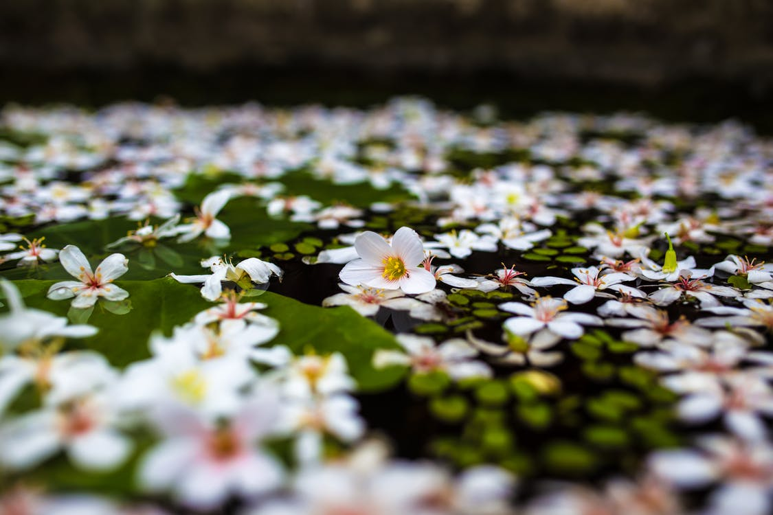 Delicate flowers on water surface of lake