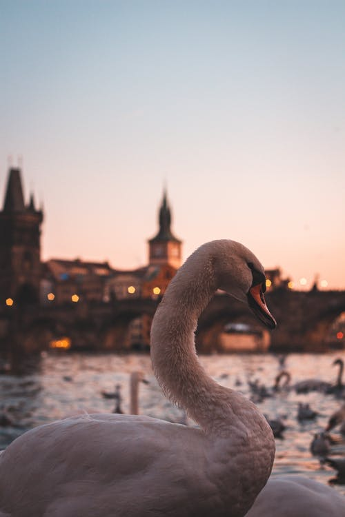 Side view of graceful swan relaxing near pond on background of cityscape during sunset