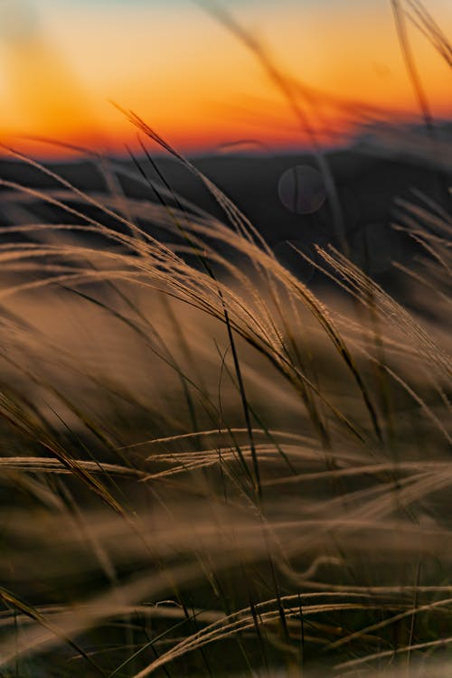 Closeup of dried grass growing on meadow on background of amazing orange sunset sky in countryside