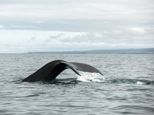 Humpback whale tail above surface of sea