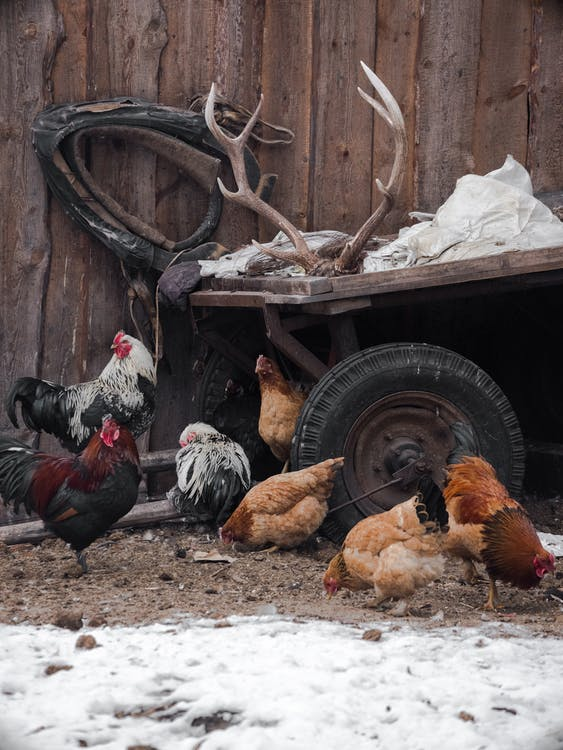 Flock of domestic hens and rooster pecking snow covered ground near wooden fence and cart with majestic deer antlers