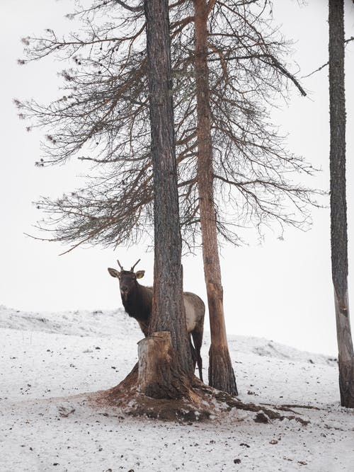 Lonely deer behind coniferous tree with bare branches