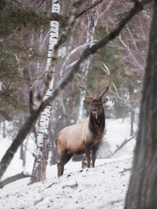 Majestic deer in winter forest at daylight