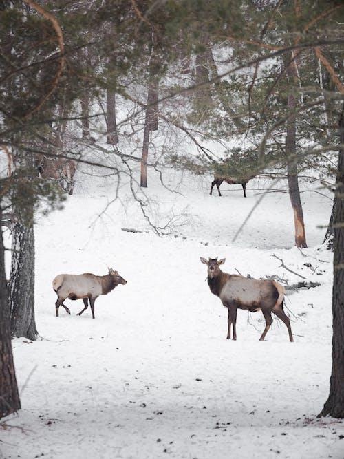 Wild reindeer walking in winter forest