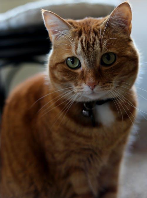 Free stock photo of Animals And Pets, cat, orange cat