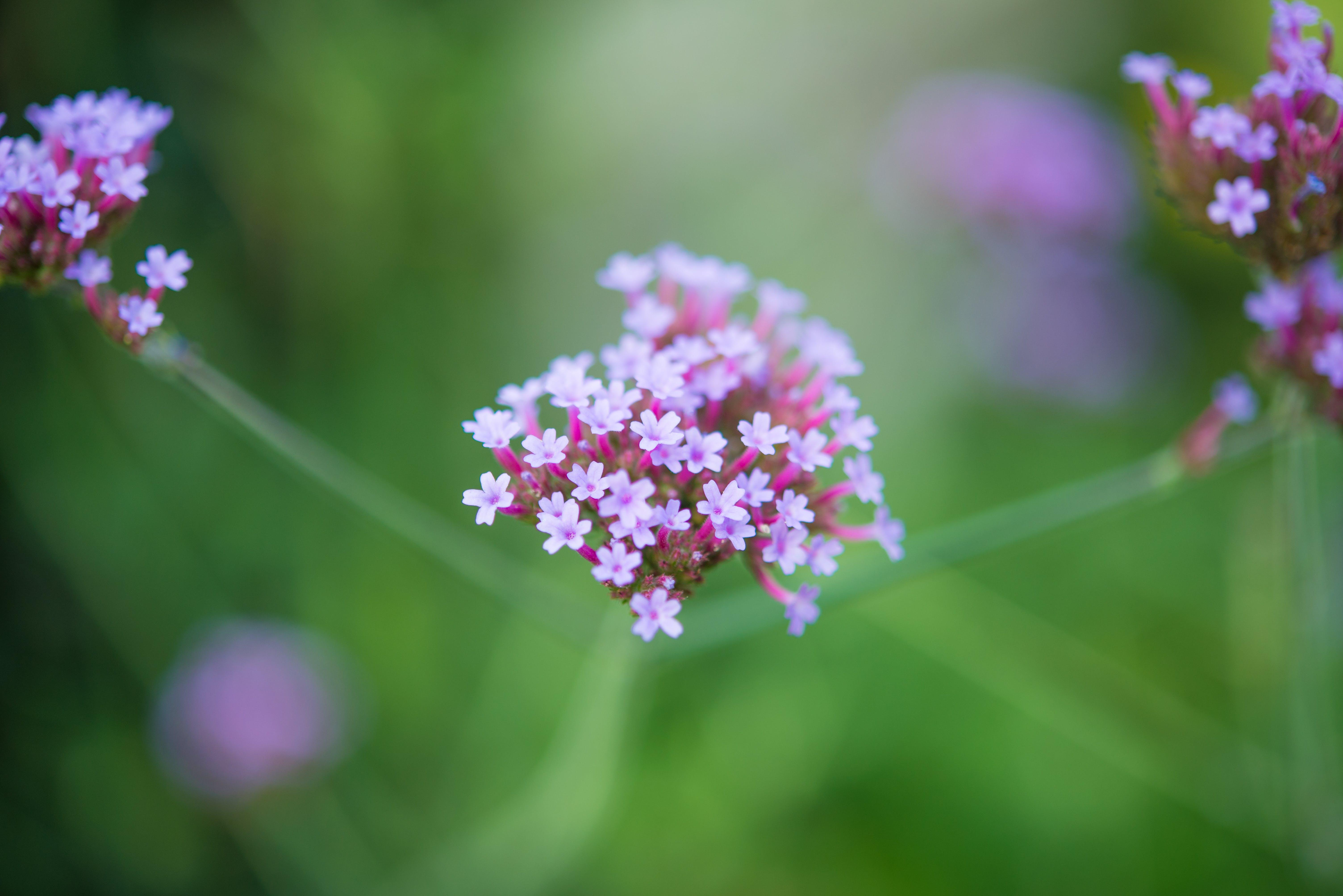 Free stock photo of bokeh, flora, flower, flowers