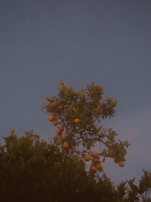 Free stock photo of asthetic, orange tree, oranges