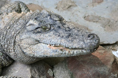Grey Crocodile on Brown Soil