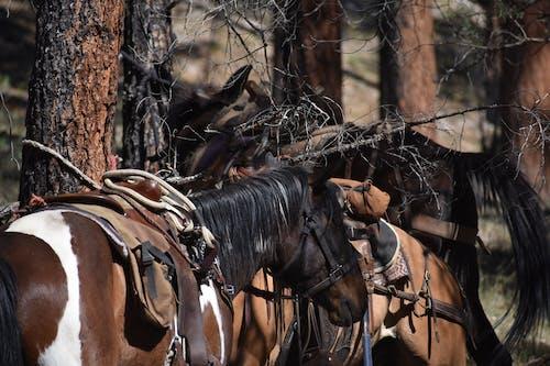 Základová fotografie zdarma na téma fotografie přírody, jízda na koni, kempování, kovboj