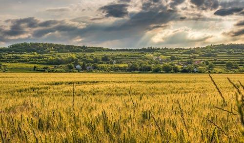 Foto stok gratis alam, awan, bidang, gandum
