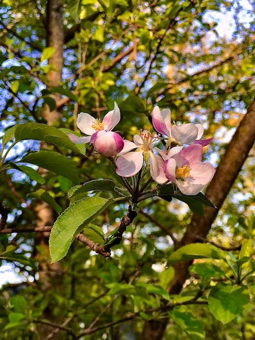 Free stock photo of apple blossom, apple tree, blossom flora