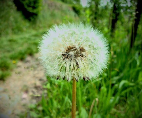 Free stock photo of beautiful flower, beauty in nature, beauty of nature, dandelion