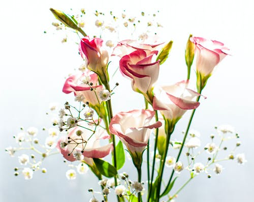 Bunch of fresh gentle blossoming lisianthus flowers with delicate petals against white background