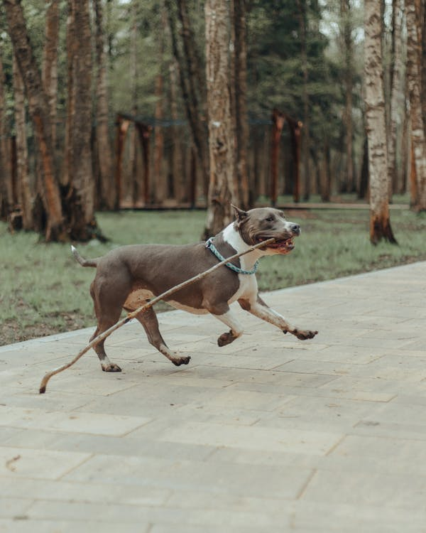 Side view of playful American Staffordshire Terrier with long stick in mouth running fast on pavement in park in daytime