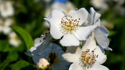 Free stock photo of wild roses