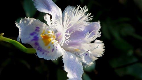Free stock photo of fringed iris