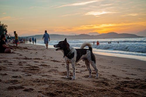 Playful Bear dog on crowded sandy beach
